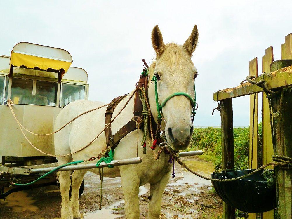 「花馬車」に揺られながら眺める野付半島「トドワラ」までの風景