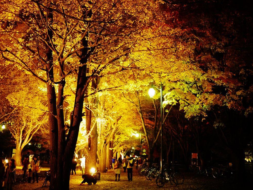闇夜の中黄金に輝く北海道大学イチョウ並木を歩こう