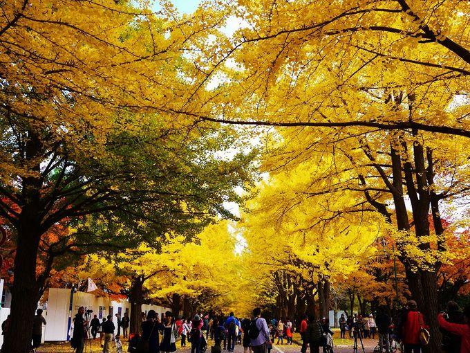 昼の北海道大学イチョウ並木も感動の絶景!