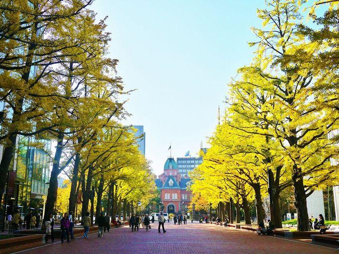 歴史あるイチョウ並木を歩いて北海道庁旧本庁舎(赤れんが庁舎)へ!