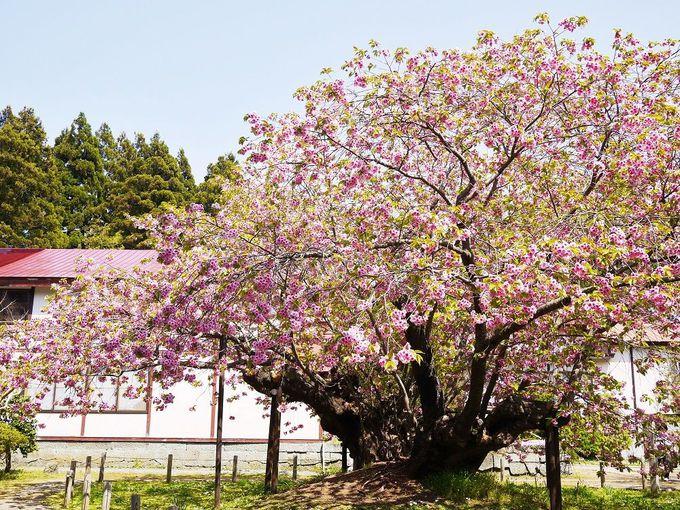 桜の精が宿る「血脈桜」の伝説
