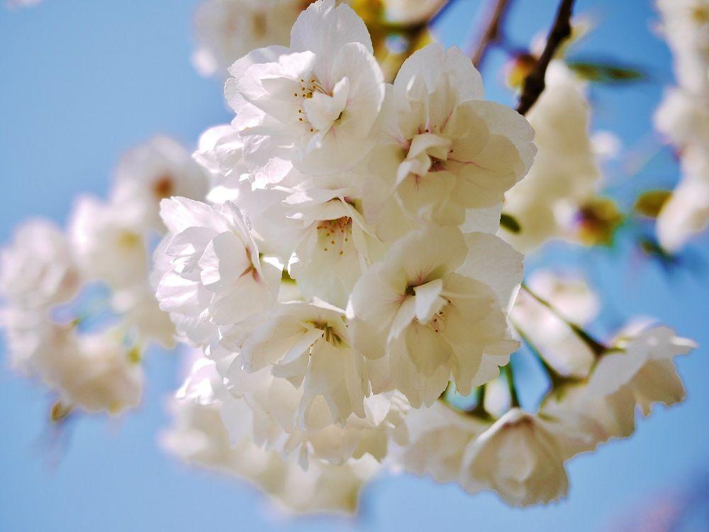 見頃は1ヶ月間!早咲き・中咲き・遅咲き…と続く桜のリレー