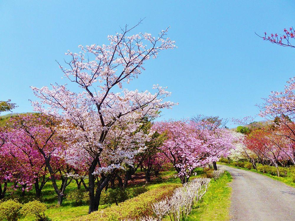 一面に広がる桜色のグラデーション!