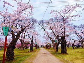 桜まつりも開催!北海道森町「青葉ヶ丘公園」の美しき千本桜