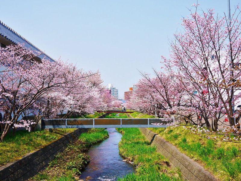期間限定開放の千島桜並木でお花見!札幌市「寒地土木研究所」