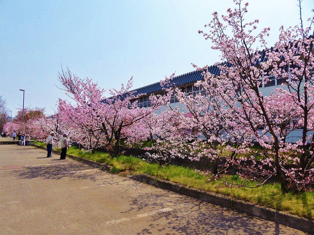 可憐で美しい桜並木を春色散歩