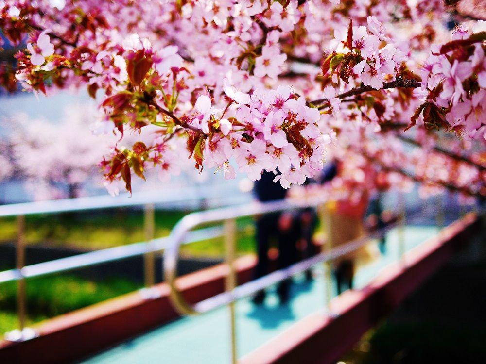 橋の上から眺める美しき精進川と千島桜の風景