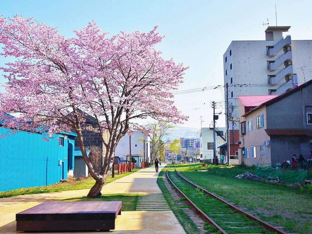 「旧国鉄手宮線」を彩る美しき1本桜