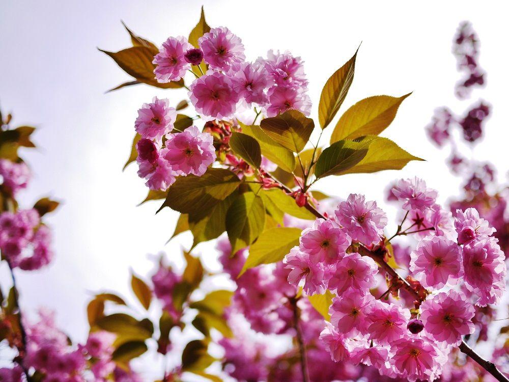 5月中旬の軽川緑地をピンクに彩る八重桜