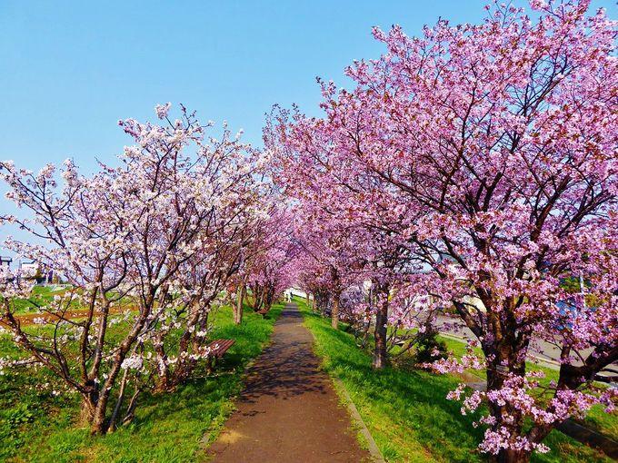 「チシマザクラ」の並木道で写真を撮ろう!