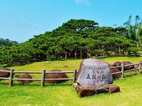 樹齢250年余、天下随一の琉球松!沖縄県久米島「五枝の松」|沖縄県|トラベルjp<たびねす>