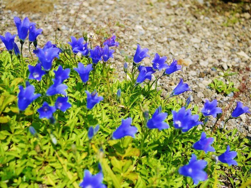 高山植物咲き誇る登山道