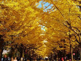 秋限定、美しい黄金のトンネル!「北海道大学イチョウ並木」|北海道|トラベルjp<たびねす>