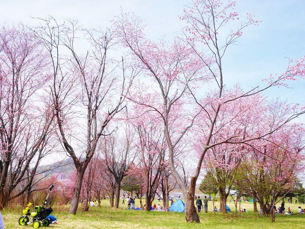 桜と白樺の優しい春景色、北海道色の美しいお花見