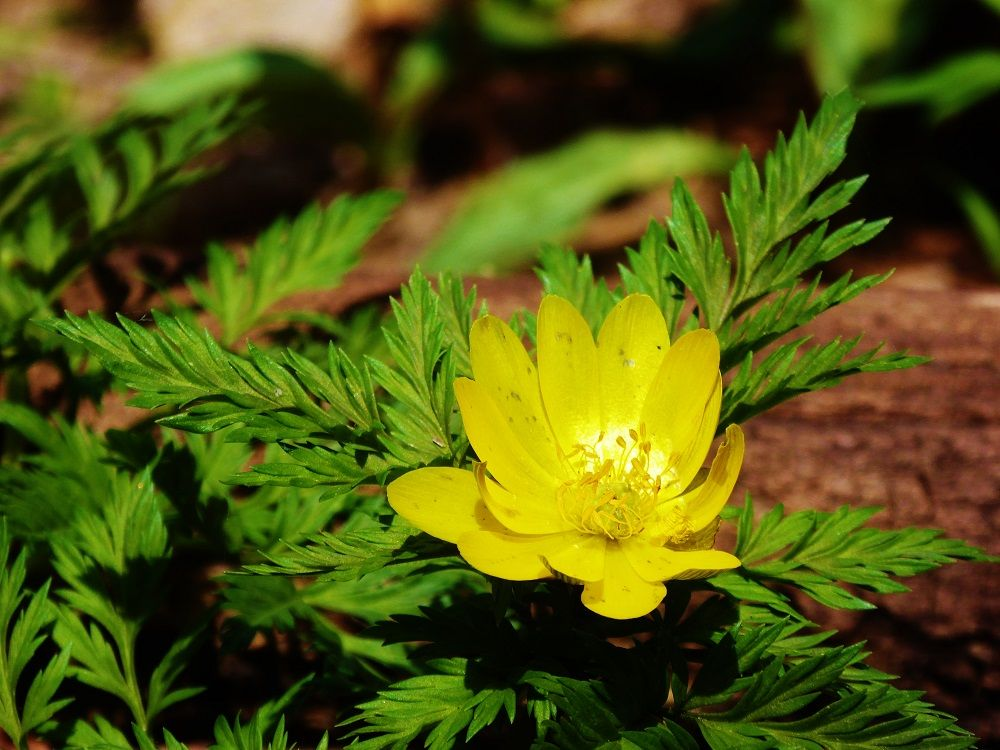 カタクリと一緒に咲く春の野の花たち