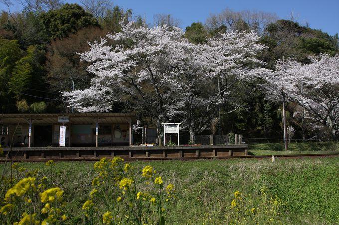 静かな房総の山里でのんびりと桜を愛でる…上総大久保駅