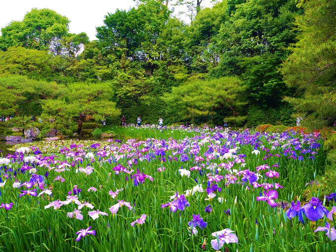 平安神宮神苑の広大な敷地に咲く花菖蒲