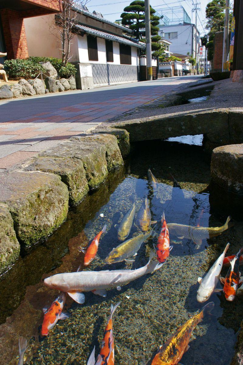 用水路に鯉が泳ぐ!美しい湧き水の町島原で城下町散策