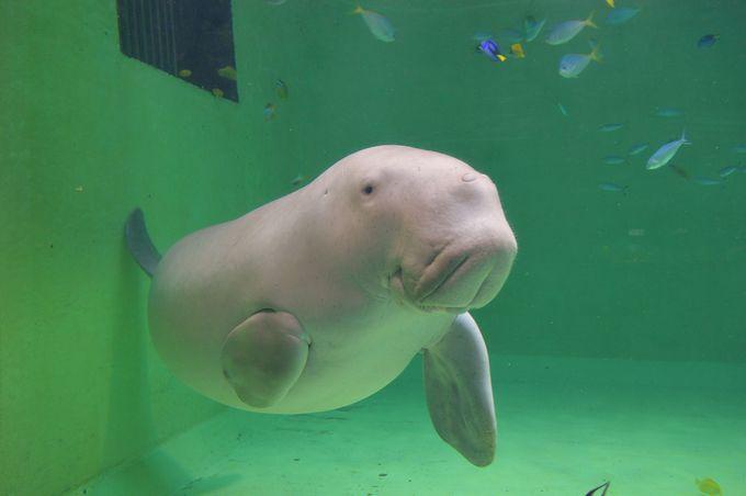 ジュゴンのセレナとアオウミガメのカメ吉