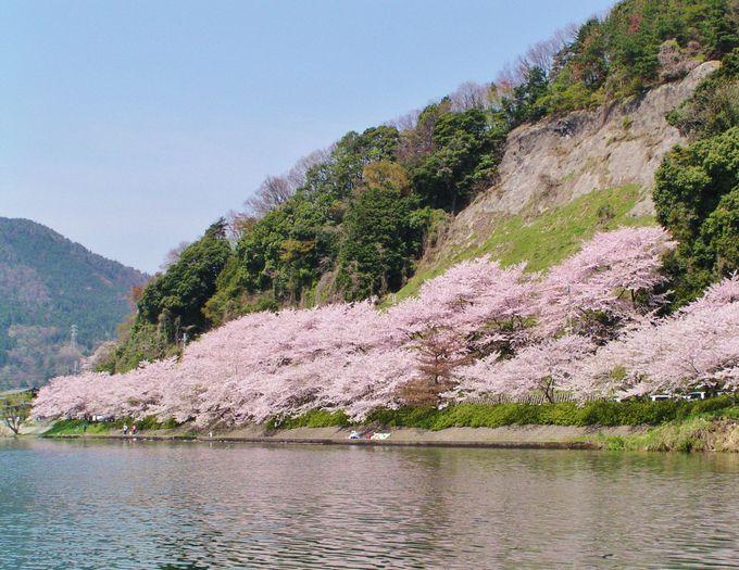 滋賀県の桜の名所「海津大崎」で要注目は石積み堤防