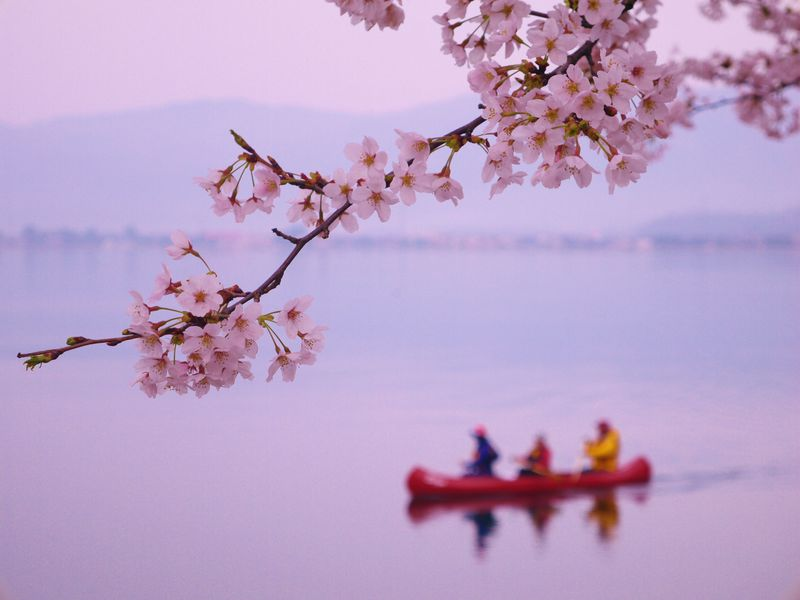 琵琶湖の桜がスゴイ!海津大崎の桜並木でピンクに包まれる春