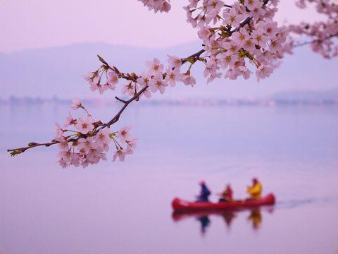 琵琶湖・海津大崎の桜でピンクに包まれる春