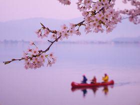 琵琶湖の桜がスゴイ!海津大崎の桜並木でピンクに包まれる春|滋賀県|トラベルjp<たびねす>