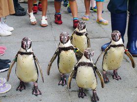 メンバーはその日のノリ!?城崎マリンワールド ペンギンのお散歩|兵庫県|トラベルjp<たびねす>