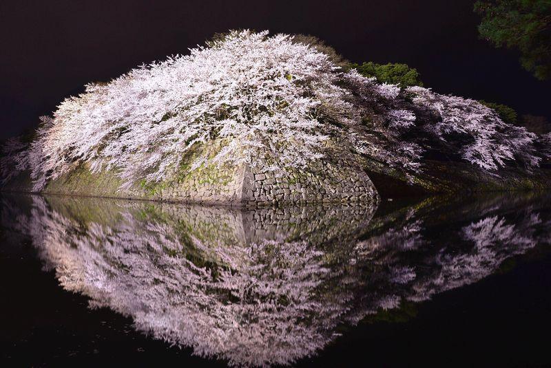滋賀県の桜の名所・彦根城でお堀に映るライトアップ夜桜鑑賞