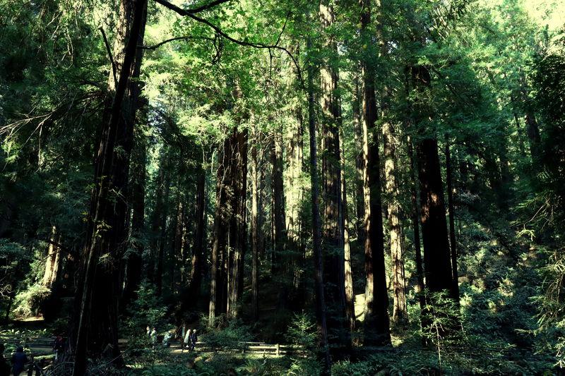 ミュアウッズ国定公園はサンフランシスコから1時間の癒し空間