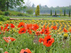 可憐な花たちに会いに行きませんか?山中湖「花の都公園」|山梨県|トラベルjp<たびねす>