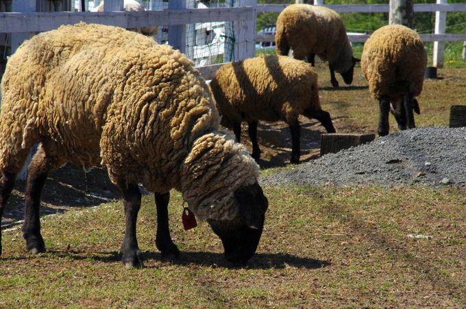 フワモコの羊たちに会えます♪