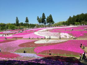毎年パワーUP!芝桜の名所、秩父 羊山公園「芝桜の丘」|埼玉県|トラベルjp<たびねす>
