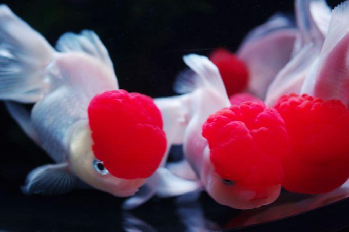 可愛いっ!!!赤帽をかぶった「ちょいワル金魚」