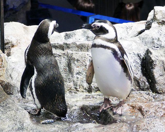 「すみだ水族館」公式ガイドブックにもなった、恋するペンギンの恋愛事情