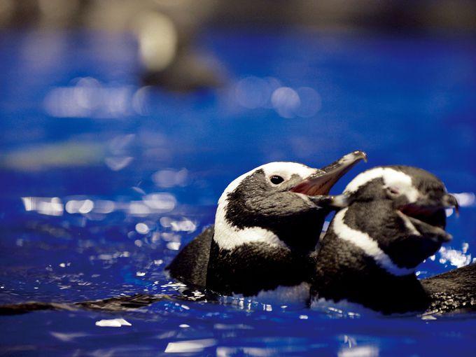 可愛いだけじゃない、ペンギンの意外な素顔とは?