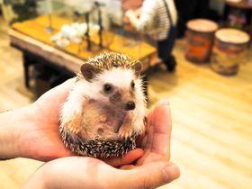 世界が恋する!六本木・ハリネズミカフェ「HARRY」で癒されよう|東京都|トラベルjp<たびねす>