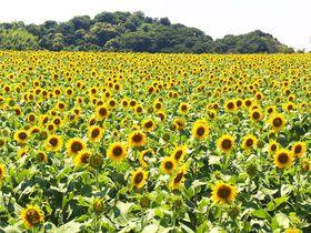 12月まで咲く「ひまわり」に囲まれたい!愛知・観光農園 花ひろば|愛知県|トラベルjp<たびねす>