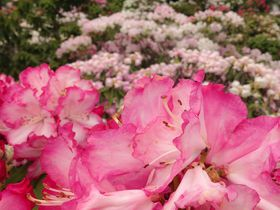 西日本最大級の2万本の花が圧巻!大分県大山しゃくなげ園|大分県|トラベルjp<たびねす>