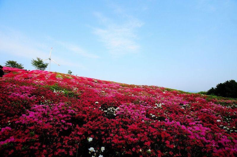 一面のツツジで覆われる丘が見事!!「菅無田(すげむた)公園・いろどりの丘」
