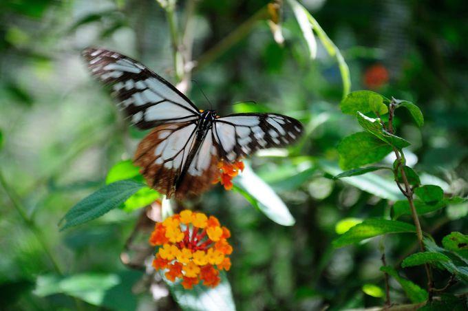 旅する蝶、アサギマダラの乱舞に会えるかも?