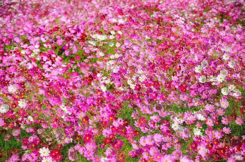 圧巻のコスモス100万本!! 秋の花見は下関の花公園「リフレッシュパーク豊浦」へ