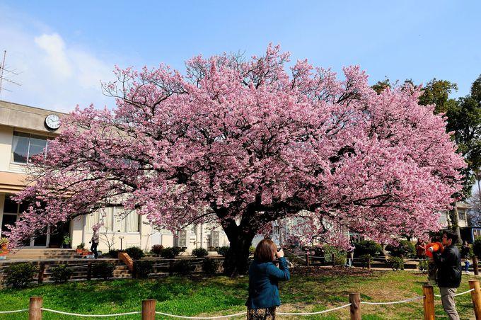 防府市向島小学校の「蓬莱桜」
