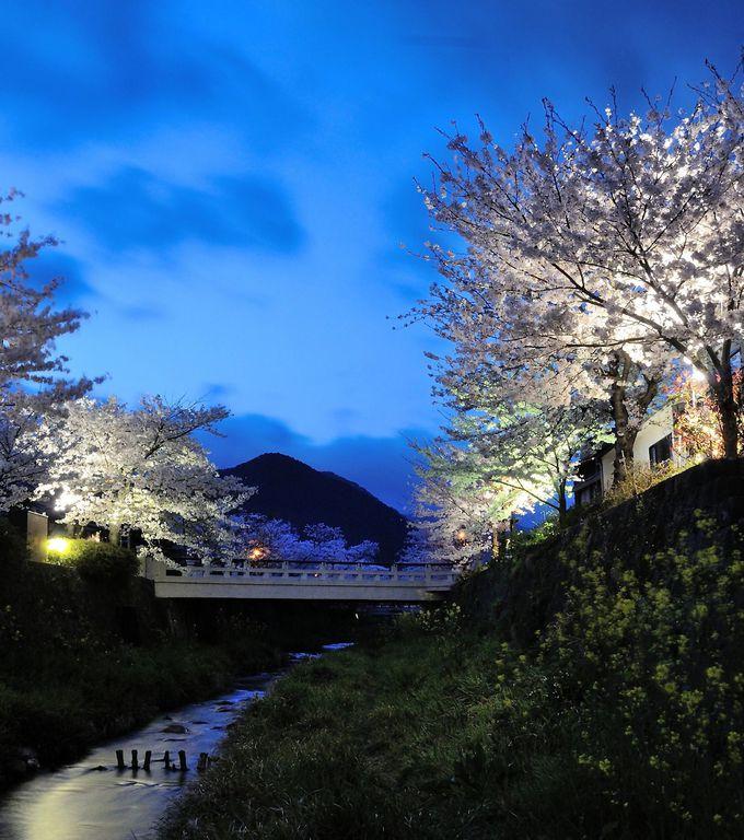 山口市内を流れる「一の坂川」の桜並木