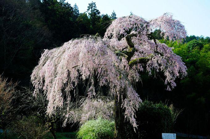 美東町:長登(ながのぼり)の1本桜