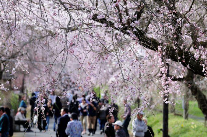 徳佐八幡宮の参道は桜のトンネル!!
