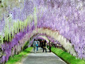 目を奪われる絶景として世界中で話題!北九州市「河内藤園」の藤棚!