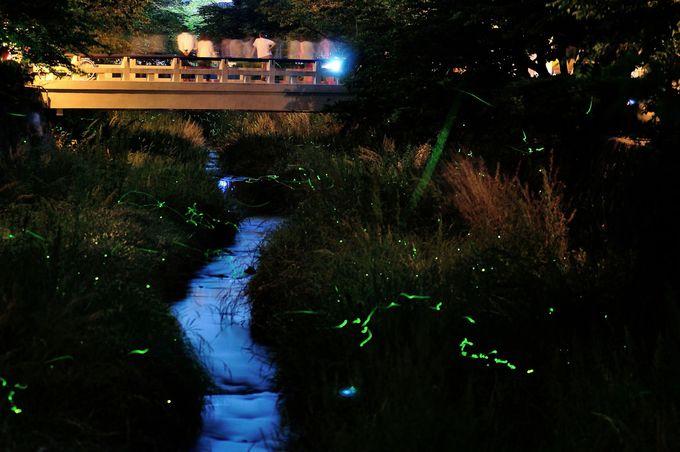 市街地でもホタルが見られる「一の坂川」