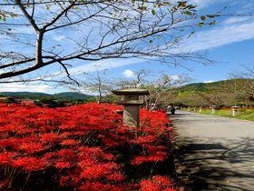 鮮麗の彼岸花ロード!山口市・小鯖八幡宮の参道は赤一色