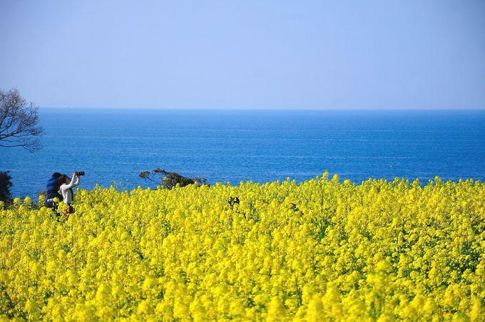 九州最大規模の菜の花畑!「長崎鼻リゾートキャンプ場」